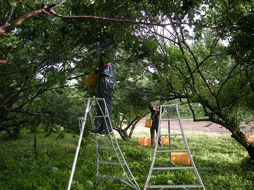 梅づくり11収穫中