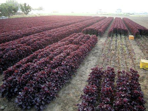 梅づくり16紫蘇畑