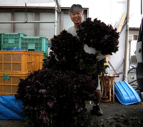 梅づくり18紫蘇量
