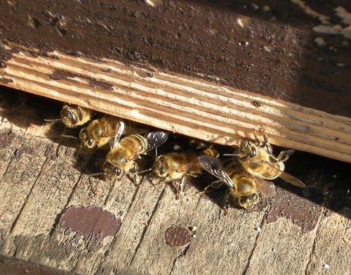 梅づくり4蜂
